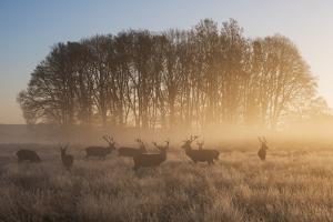 A Large Group Of Red Deer Stags, Cervus Elaphus, In Richmond Park At Dawn by Alex Saberi