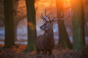 A Large Majestic Red Deer Stag in the Orange Early Morning Glow in Richmond Park by Alex Saberi