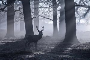 A Large Male Red Deer Stag, Cervus Elaphus, Walks In Richmond Park At Dawn by Alex Saberi