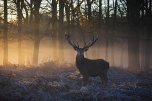 A large red deer stag, Cervus elaphus, stands in Richmond Park at dawn. by Alex Saberi