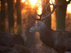 A Large Red Deer Stag on a Winter Morning in Richmond Park by Alex Saberi