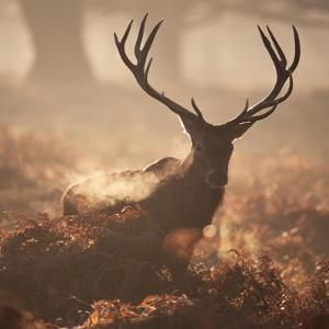A Large Red Deer Stag Waits in the Early Morning Mists of Richmond Park by Alex Saberi