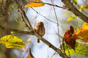 A Least Pygmy-Owl on a Branch in the Atlantic Rainforest, Ubatuba, Brazil by Alex Saberi