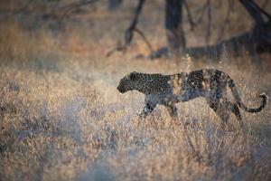 A Leopard, Panthera Pardus, Walking Through Grass in Namibia's Etosha National Park by Alex Saberi