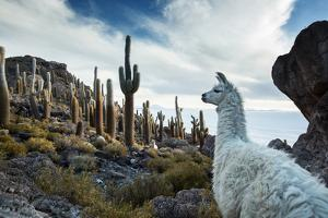A Llama Watches Out over Isla Del Pescado Above Salar De Uyuni by Alex Saberi