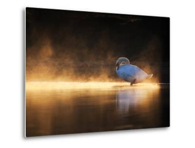 A Mute Swan, Cygnus Olor, Bathes in the Golden Morning Glow
