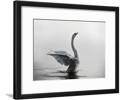 A Mute Swan, Cygnus Olor, Stretching its Wings in the Morning Mist
