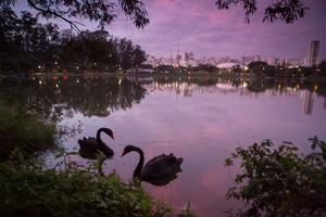 A Pink Sunset with Two Black Swans in Ibirapuera Park Lake with Sao Paulo Cityscape Behind by Alex Saberi