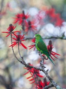 A Plain Parakeet, Brotogeris Tirica, Resting and Eating on a Coral Tree by Alex Saberi