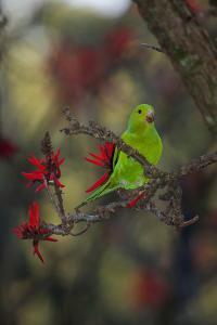 A Plain Parakeet, Brotogeris Tirica, Resting in a Coral Tree by Alex Saberi