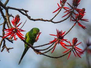A Plain Parakeet Resting and Eating on a Coral Tree in Sao Paulo's Ibirapuera Park by Alex Saberi