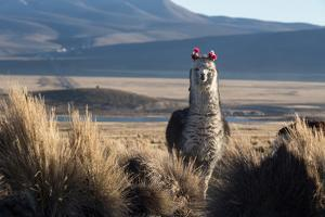 A Portrait of a Large Llama in Sajama National Park, Bolivia by Alex Saberi
