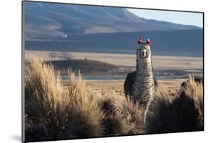 A Portrait of a Large Llama in Sajama National Park, Bolivia by Alex Saberi