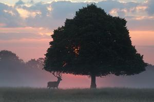 A Red Deer Buck, Cervus Elaphus, and a Tree Against a Dramatic Sky by Alex Saberi