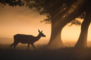 A Red Deer, Cervus Elaphus, Grazes in the Early Morning Mists of Richmond Park by Alex Saberi