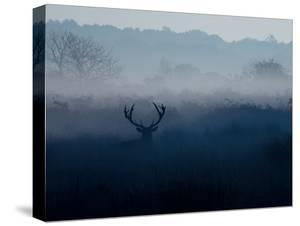 A Red Deer, Cervus Elaphus, in the Autumn Mist by Alex Saberi