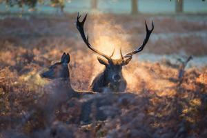 A Red Deer Stag and Doe in the Autumn Mists of Richmond Park During the Rut by Alex Saberi