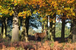 A Red Deer Stag in a Forest with Colorful Fall Foliage by Alex Saberi