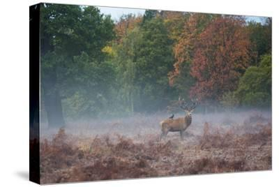 A Red Deer Stag Stands Against an Autumn Backdrop with a Jackdaw Perched on His Back at Sunrise