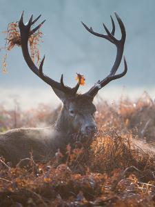 A Red Stag Adorns Himself with Foliage on a Winter Morning in Richmond Park by Alex Saberi