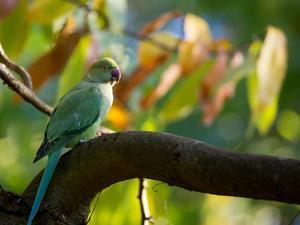 A Ring-Necked, or Rose-Ringed, Parakeet, Psittacula Krameri, Perches on a Tree Branch at Sunset by Alex Saberi