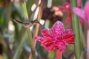 A Saw-Billed Hermit Bird Feeds from a Red Ginger Plant Flower in the Atlantic Rainforest by Alex Saberi
