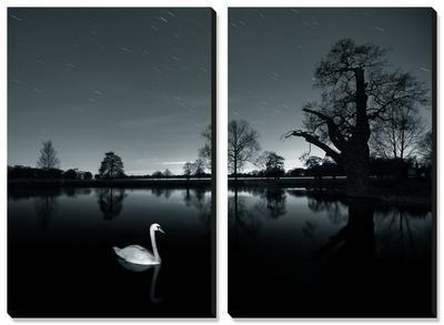 A Solitary Mute Swan (Cygnus Olor) Swimming in a Pond