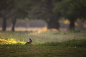 A Spring Rabbit Grazes in Richmond Park on a Spring Morning by Alex Saberi