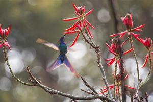 A Swallow-Tailed Hummingbird, Eupetomena Macroura, Feeding from Coral Tree Flowers by Alex Saberi