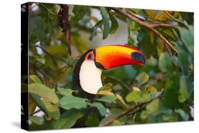 A Toco Toucan Perches in a Tree Near Iguazu Falls at Sunset