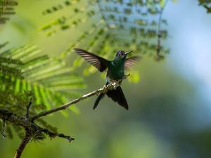 A Violet-Capped Wood Nymph Rests on a Branch in Ubatuba, Brazil by Alex Saberi