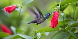 A Violet-Capped Woodnymph Feeds from a Flower in the Atlantic Rainforest by Alex Saberi