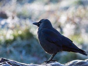 A Western Jackdaw on a Branch on a Cold Winter Morning by Alex Saberi