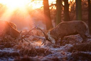 Backlit View of Two Red Deer Stags Battling at Sunrise by Alex Saberi