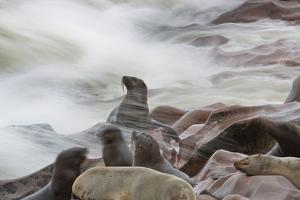 Brown Fur Seals, Arctocephalus Pusillus, Stands Strong Against the Waves in Cape Cross, Namibia by Alex Saberi