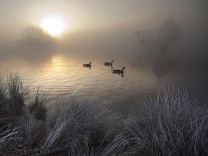 Canada Geese, Branta Canadensis, Taking a Morning Swim on a Pond by Alex Saberi