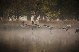 Canada Geese, Branta Canadensis, Taking Off in Unison from Pen Ponds in Richmond Park in Autumn by Alex Saberi