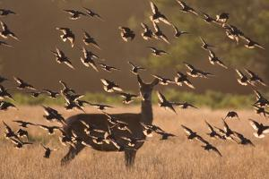 Common starlings, Sturnus vulgaris, with a fallow deer in a clearing. by Alex Saberi
