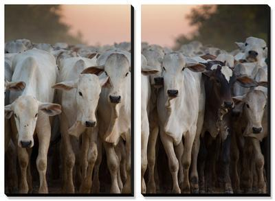 Cows Being Herded Down the Road in the Pantanal by Alex Saberi
