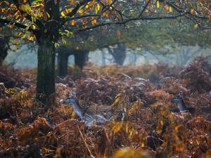 Fallow Deer, Dama Dama, Making their Way Through Autumn Foliage by Alex Saberi