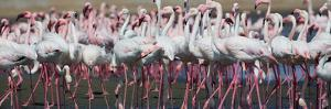 Greater Flamingos Grouping Together Near Walvis Bay, Namibia by Alex Saberi