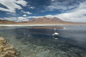 James Flamingos Feeding in Laguna Canapa by Alex Saberi