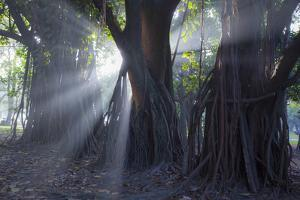 Light Rays Make their Way Through Massive Trees in Ibirapuera Park on a Misty Morning by Alex Saberi