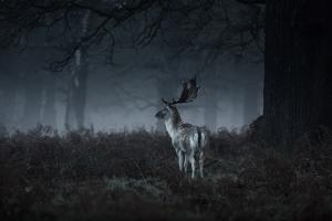 Male Red Deer Stag, Cervus Elaphus, in London's Richmond Park by Alex Saberi