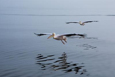 Pelicans Flying Above the Ocean Near Walvis Bay, Namibia by Alex Saberi