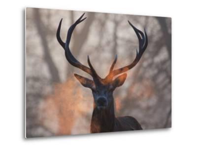 Portrait of a Red Deer Buck, Cervus Elaphus, in Winter