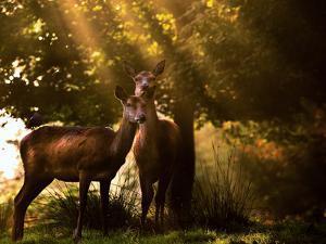 Red Deer, Cervus Elaphus, Huddle Together in the Autumn Light by Alex Saberi