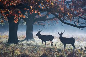 Red Deer Stags in a Forest with Colorful Fall Foliage by Alex Saberi