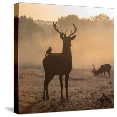 Red Deer Stags Stand in Morning Mist, One with a Crow on His Back