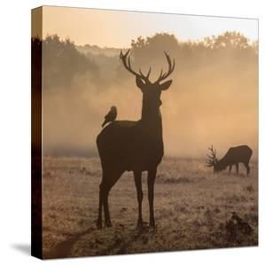 Red Deer Stags Stand in Morning Mist, One with a Crow on His Back by Alex Saberi